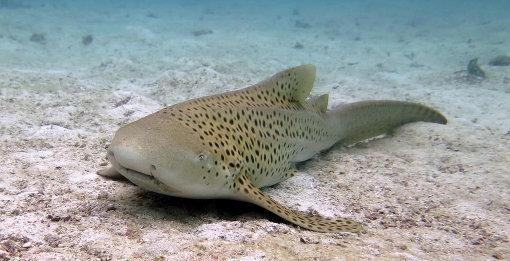 leopardenhai tauchen phuket