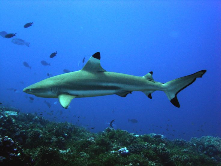 blacktip reef sharks thailand
