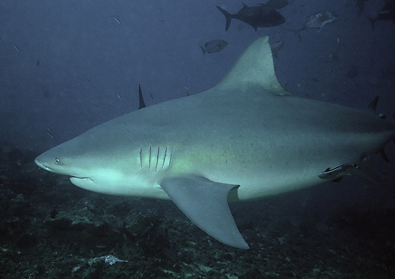 bull shark diving in Thailand