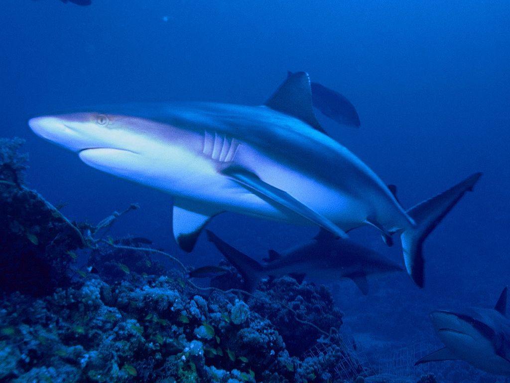 gray reef sharks thailand