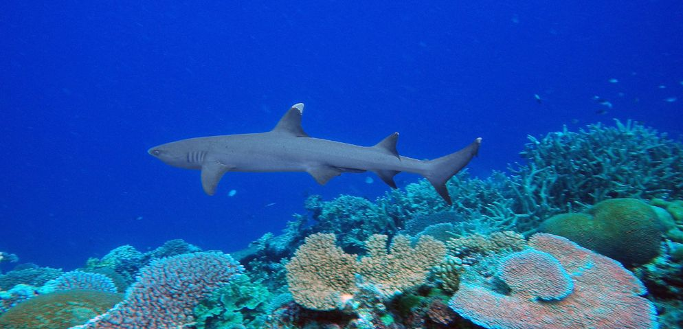 white tip reef sharks thailand