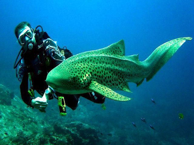 leophard shark Phuket, Thailand
