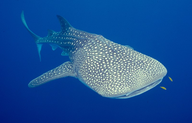 whale shark diving similans