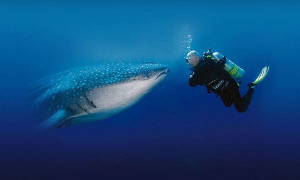 diving with whale shark thailand